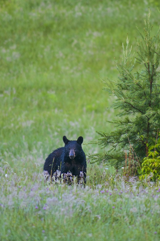 Black Bear in Cades Cove