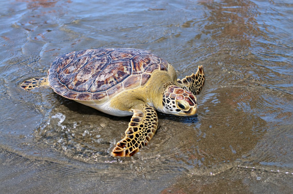 A rehabilitated sea turtle returns to the sea after a stay at the South Carolina Aquarium's Turtle Hospital