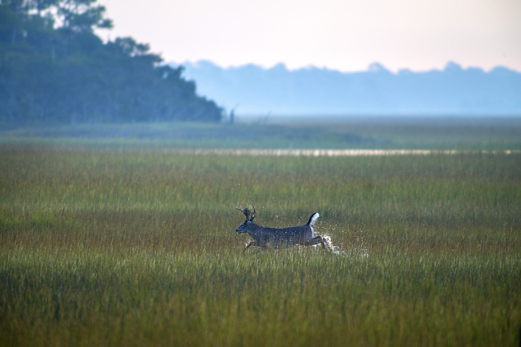 A buck breaking the early morning silence through the Kiawah River marsh