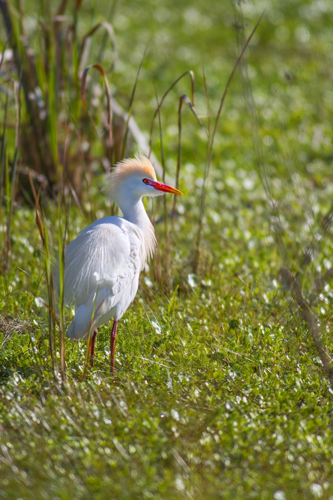 A lit up cattle egret takes a break from hunting in the swamp