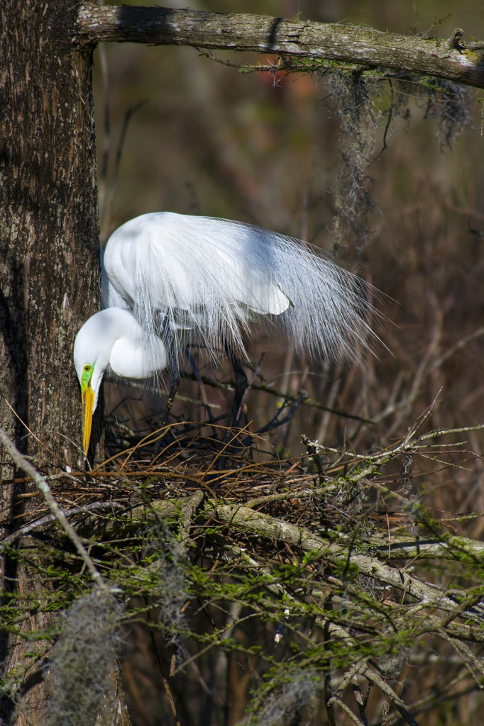 A Great Egret works on its nest at the Magnolia Plantation Swamp Garden