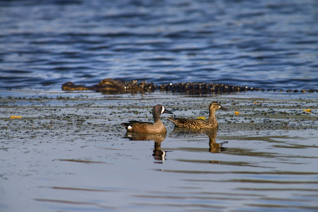 A gator approaches a little too close for comfort to this pair of Blue-Winged Teal